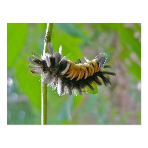 Artículos de Caterpillar de la polilla de mechón d Postal