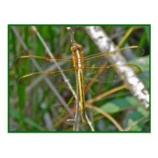 Artículos de oro de la libélula de Meadowhawk (Sym Postales