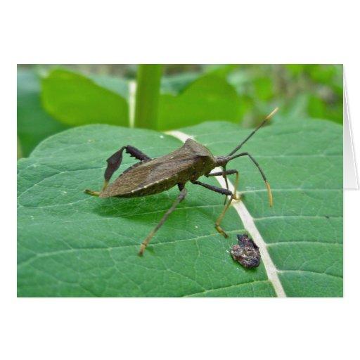 Artículos del insecto de Leaffooted (fenorata de A Tarjetas
