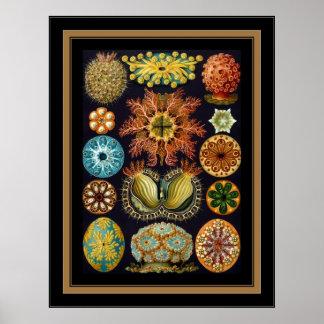 Artista Ernst Haeckel Ascidiae del vintage del Póster