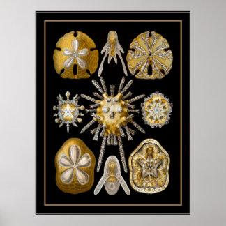 Artista Ernst Haeckel Echinoidea del vintage del p