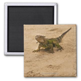 Aruba, lagarto en la arena imán cuadrado