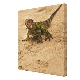 Aruba lagarto en la arena lienzo envuelto para galerias