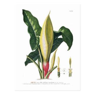 Arum lily postcard