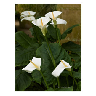 Arum or calla lilies, Zantedeschia aethiopica, Postcard