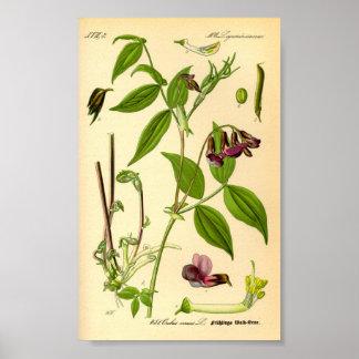 Arveja de primavera (vernus del Lathyrus) Póster