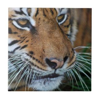 Ascendente cercano del tigre azulejo cuadrado pequeño