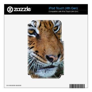 Ascendente cercano del tigre iPod touch 4G calcomanías