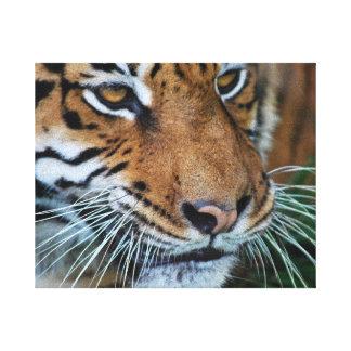 Ascendente cercano del tigre impresiones en lona