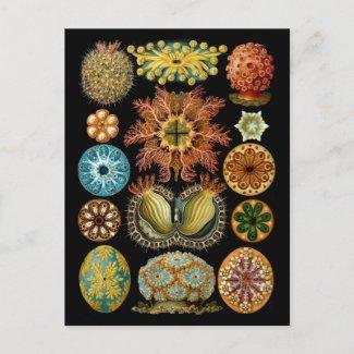 Ascidiacea postcard