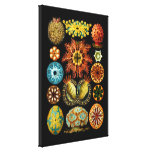 Ascidiacea (Sea Squirts), Ernst Haeckel Stretched Canvas Prints