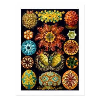 Ascidiacea (Sea Squirts), Ernst Haeckel Fine Art Postcard