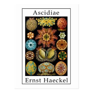 Ascidiae by Ernst Haeckel Postcard