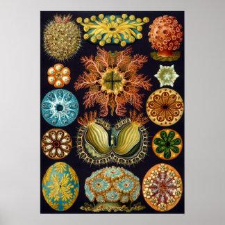 Ascidiae by Ernst Haeckel, Vintage Marine Animals Poster
