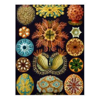 Ascidiae de Ernst Haeckel, animales marinos del Tarjetas Postales