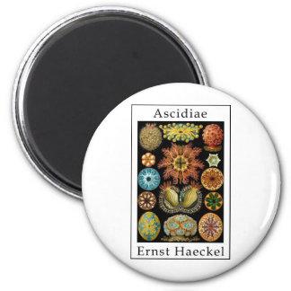 Ascidiae de Ernst Haeckel Imán Redondo 5 Cm