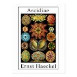 Ascidiae de Ernst Haeckel Postal