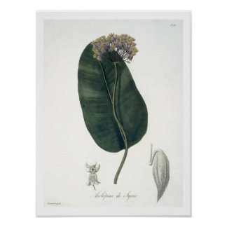 Asclepias Syriaca from 'Phytographie Medicale' by Poster