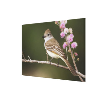 Ash-throated Flycatcher, Myiarchus Canvas Print