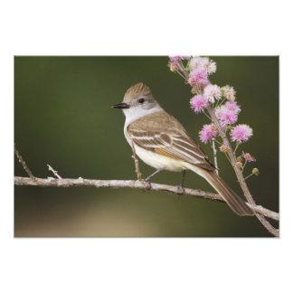 Ash-throated Flycatcher, Myiarchus Photo Print