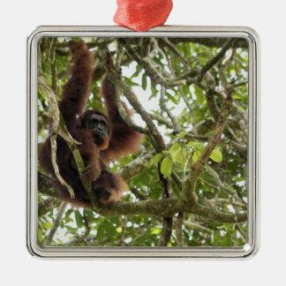 Asia, Borneo, Malaysia, Sarawak, Orangutan Square Metal Christmas Ornament