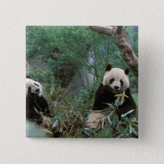 Asia, China, Chengdu. Giant Panda Sanctuary - 2 Button