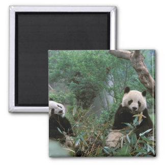 Asia, China, Chengdu. Giant Panda Sanctuary - 2 2 Inch Square Magnet