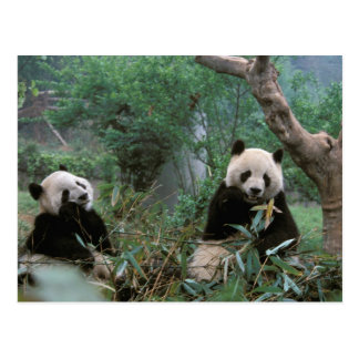 Asia, China, Chengdu. Giant Panda Sanctuary - 2 Postcard