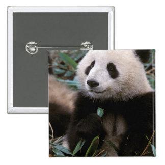 Asia, China, Chengdu. Giant Panda Sanctuary - 2 Inch Square Button