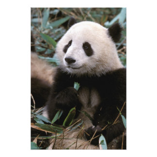 Asia, China, Chengdu. Giant Panda Sanctuary - Photo Print