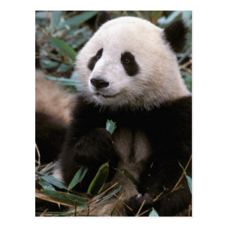 Asia, China, Chengdu. Giant Panda Sanctuary - Postcard