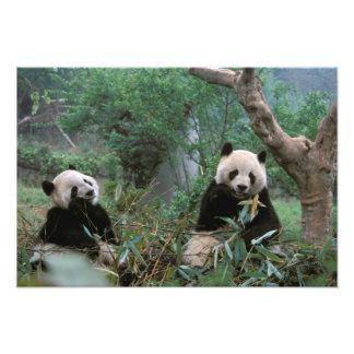 Asia, China, Chengdu. Santuario de la panda gigant Arte Con Fotos