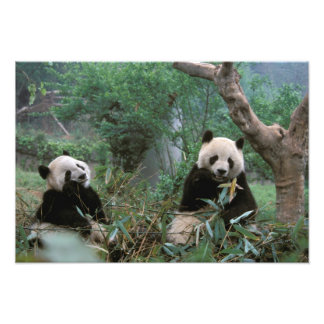 Asia, China, Chengdu. Santuario de la panda gigant Impresión Fotográfica