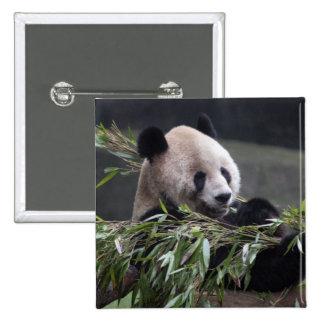 Asia, China Chongqing. Giant Panda at the 2 2 Inch Square Button