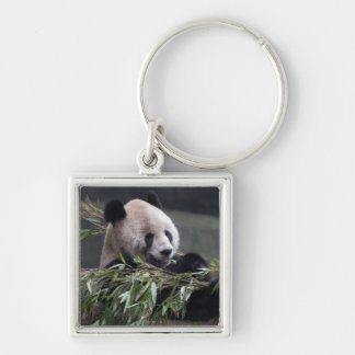 Asia, China Chongqing. Giant Panda at the 2 Silver-Colored Square Keychain