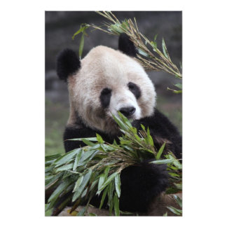Asia, China Chongqing. Giant Panda at the 2 Photo Print