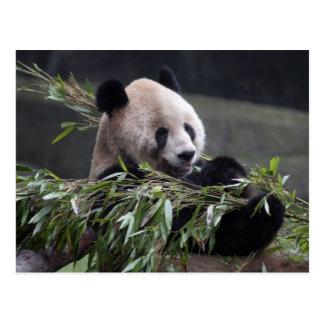 Asia, China Chongqing. Giant Panda at the 2 Postcard