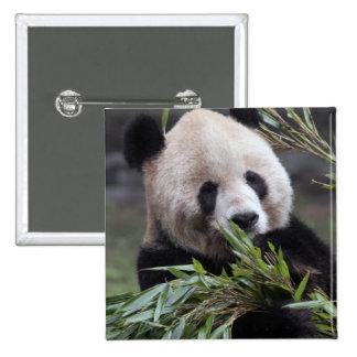 Asia, China Chongqing. Giant Panda at the 2 Inch Square Button