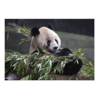 Asia, China Chongqing. Giant Panda at the Photo Print