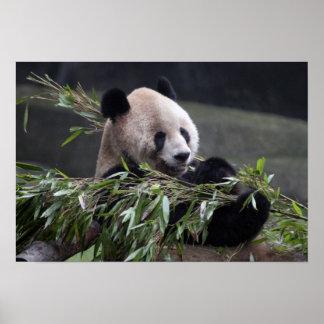 Asia, China Chongqing. Panda gigante en los 2 Póster