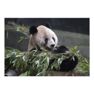 Asia, China Chongqing. Panda gigante en Fotografías