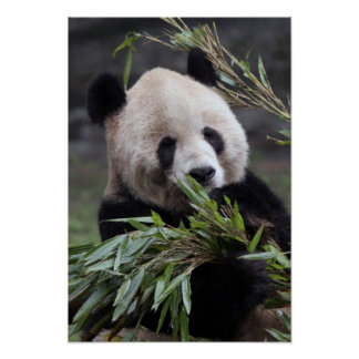 Asia, China Chongqing. Panda gigante en Póster