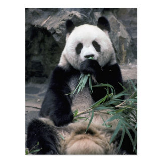 Asia, China, Chundu, Giant panda Postcard