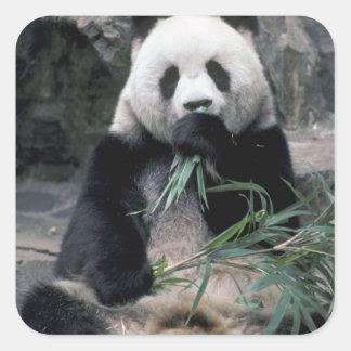 Asia, China, Chundu, panda gigante Pegatina Cuadrada
