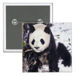 Asia, China, Sichuan Province. Giant Panda in 2 2 Inch Square Button