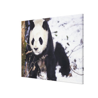 Asia, China, Sichuan Province. Giant Panda in 2 Canvas Print
