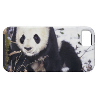 Asia, China, Sichuan Province. Giant Panda in 2 iPhone 5 Covers