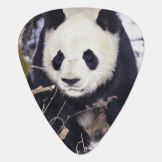 Asia, China, Sichuan Province. Giant Panda in 2 Guitar Pick