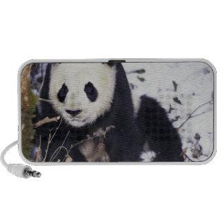 Asia, China, Sichuan Province. Giant Panda in 2 Mini Speaker