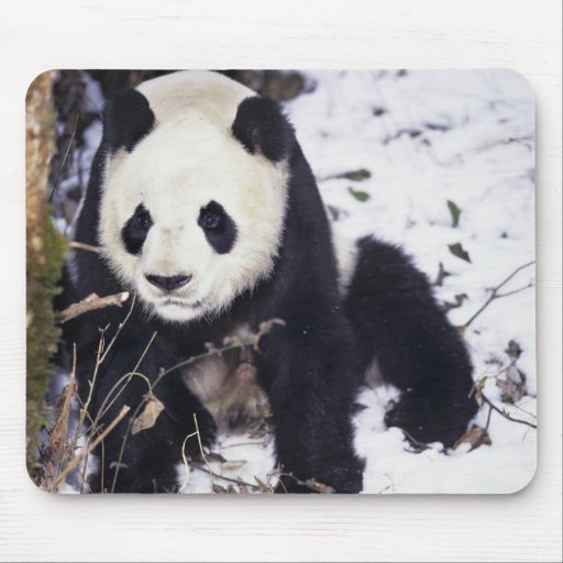 Asia, China, Sichuan Province. Giant Panda in 2 Mouse Pad